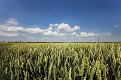 Germany, North Rhine-Westphalia, Wheat Field Royalty Free Stock Image
