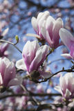 Germany, Pink magnolia blossoms Stock Photography