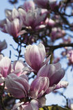 Germany, Pink magnolia blossoms Royalty Free Stock Photography