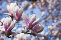 Germany, Pink magnolia blossoms Royalty Free Stock Images