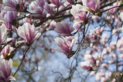 Germany, Pink magnolia blossoms Stock Images