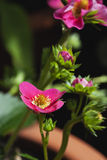 Germany, pink strawberry blossom in plant pot Stock Photography