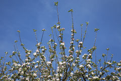 Germany, Rhineland-Palatinate, apple blossoms in spring Royalty Free Stock Photography