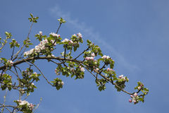 Germany, Rhineland-Palatinate, apple blossoms in spring Stock Photography