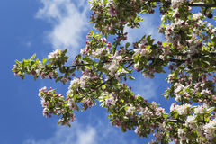 Germany, Rhineland-Palatinate, apple blossoms in spring Stock Image