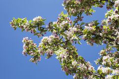 Germany, Rhineland-Palatinate, apple blossoms in spring Royalty Free Stock Images