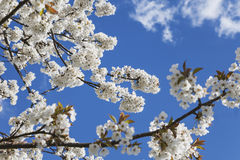 Germany, Rhineland-Palatinate, Cherry tree, white cherry blossoms Royalty Free Stock Image