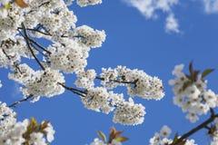 Germany, Rhineland-Palatinate, Cherry tree, white cherry blossoms Stock Photos