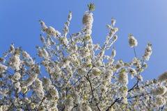 Germany, Rhineland-Palatinate, Cherry tree, white cherry blossoms Royalty Free Stock Photo