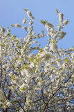 Germany, Rhineland-Palatinate, Cherry tree, white cherry blossoms Royalty Free Stock Photography