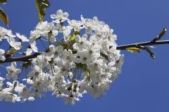 Germany, Rhineland-Palatinate, Cherry tree, white cherry blossoms Stock Photography