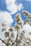 Germany, Rhineland-Palatinate, Cherry tree, white cherry blossoms Stock Image