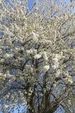 Germany, Rhineland-Palatinate, Cherry tree, white cherry blossoms Stock Images