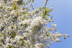 Germany, Rhineland-Palatinate, Cherry tree, white cherry blossoms Stock Photos