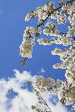 Germany, Rhineland-Palatinate, Cherry tree, white cherry blossoms Stock Photo