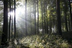 Germany, Rhineland-Palatinate, forest and sunshine Royalty Free Stock Photography