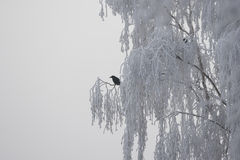 Germany, Rhineland-Palatinate, Raven on tree in winter Royalty Free Stock Photos