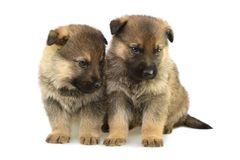 Germany sheep-dogs puppys Royalty Free Stock Photo