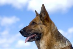 Germany shepherd Stock Image