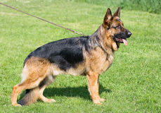 Germany shepherd Stock Photo