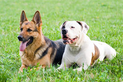Germany shepherd and American bulldog Stock Photos