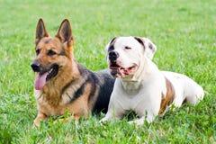 Germany shepherd and American bulldog Stock Photos