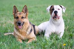 Germany shepherd and American bulldog Stock Photo