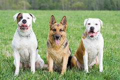 Germany shepherd and two American bulldogs Stock Photography