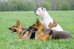 Germany shepherds and American bulldog Royalty Free Stock Images