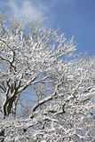 Germany, Snow covered branches of tree Royalty Free Stock Photo