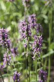 Germany, Therapeutic bishop's wort, close up Royalty Free Stock Photos