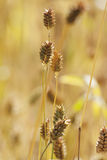 Germany, Triticum compactum, close up Royalty Free Stock Images