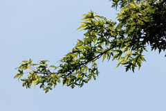 Germany,View of silver maple Stock Photography