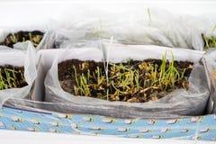 Germe de blé Photographie stock libre de droits