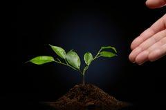 Germe de Ficus Photos libres de droits