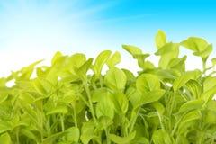 Germe de plantas verdes no fundo da SK Foto de Stock