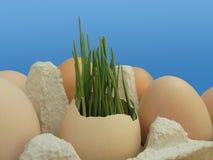 Germe di grano in guscio d'uovo su fondo blu fotografie stock