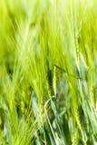 germe di grano non maturo Fotografie Stock Libere da Diritti