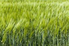 germe di grano non maturo Immagine Stock Libera da Diritti