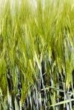 germe di grano non maturo Fotografia Stock