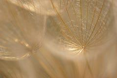 Germen abstracto del diente de león foto de archivo
