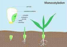Germen de la planta libre illustration