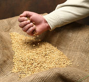 Germen de la siembra del trigo Foto de archivo