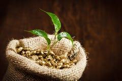 Germen del café en el saco de la arpillera con la pequeña planta Foto de archivo
