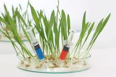 Germen del GMO   Imágenes de archivo libres de regalías