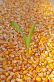 Germen del maíz Imagenes de archivo