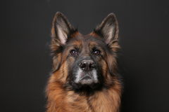 Long Haired German Sheperd Dog Alfie`s Portrait on Black&white Backround Royalty Free Stock Photos