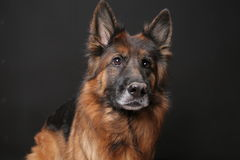 Long Haired German Sheperd Dog Alfie`s Portrait on Black&white Backround Royalty Free Stock Photo
