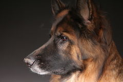 Long Haired German Sheperd Dog Alfie`s Portrait on Black&white Backround Stock Photo
