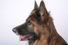Long Haired German Sheperd Dog Alfie`s Portrait on Black&white Backround Royalty Free Stock Images